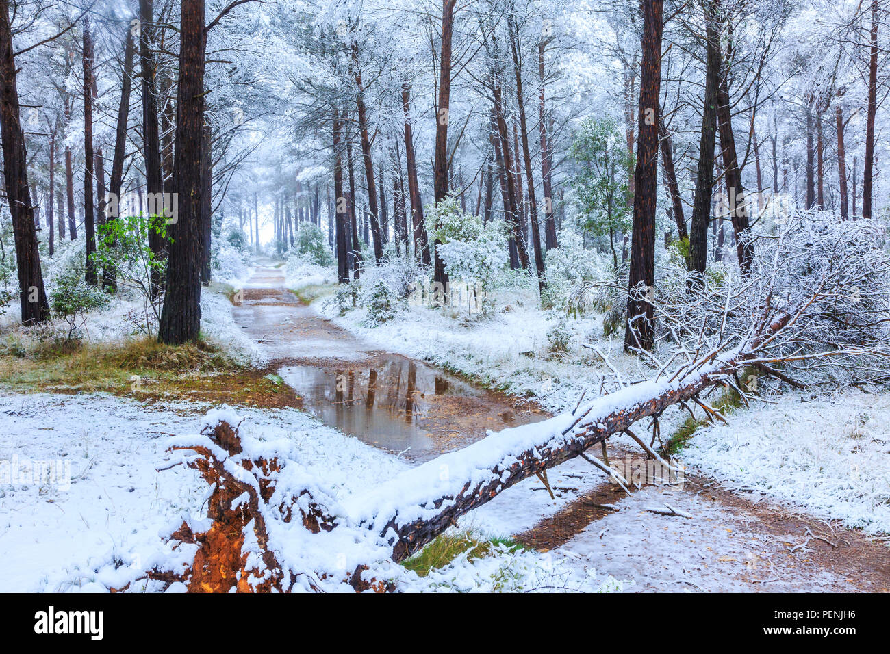 Conifer forest and snow. Ayegui. - Stock Image