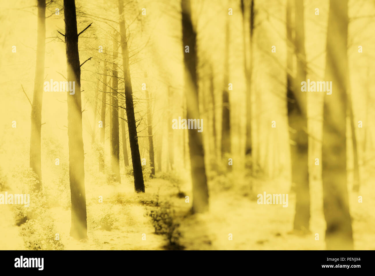 Conifer forest and snow. - Stock Image