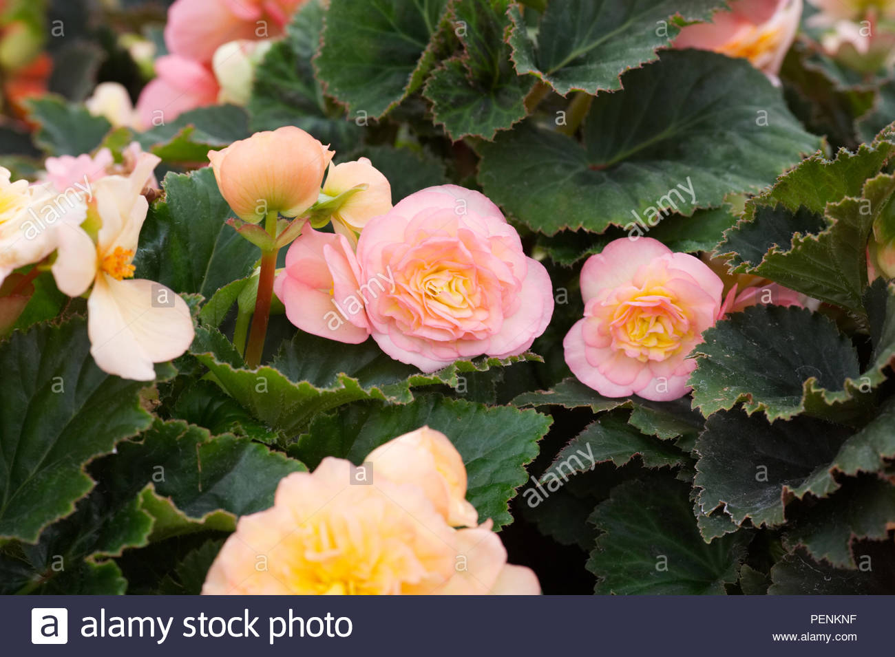 Begonia F1 'Fortune Peach Shades' flowers. - Stock Image