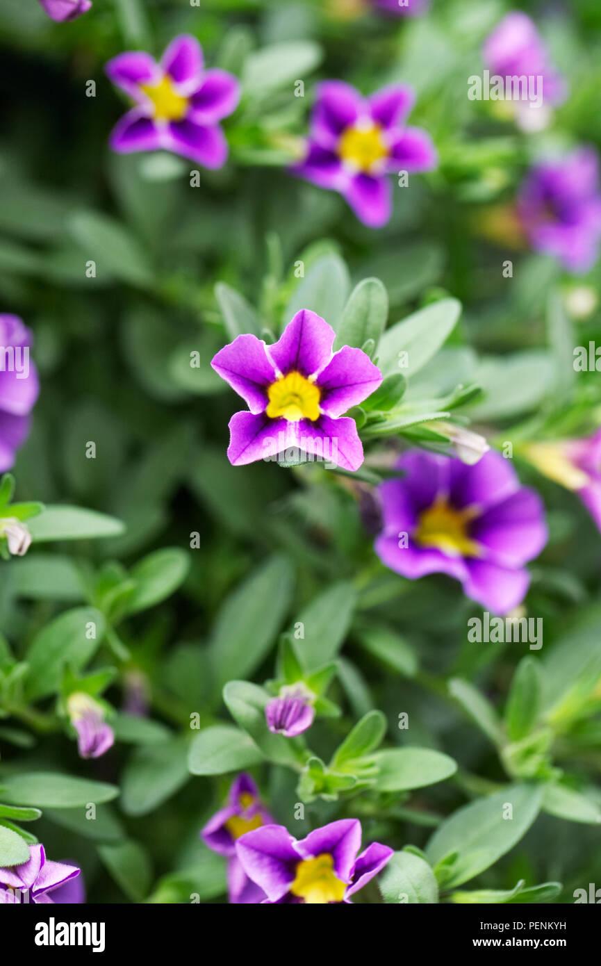 Calibrachoa Starlight Blue flowers. - Stock Image