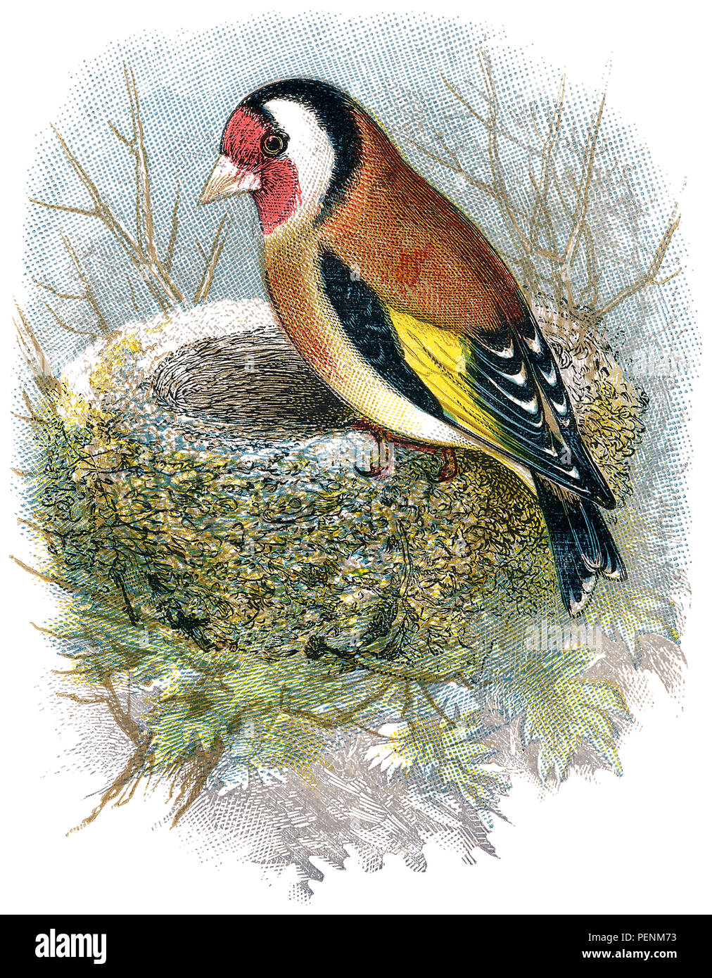 1898 colour engraving of a European goldfinch (Carduelis carduelis) and its nest. - Stock Image