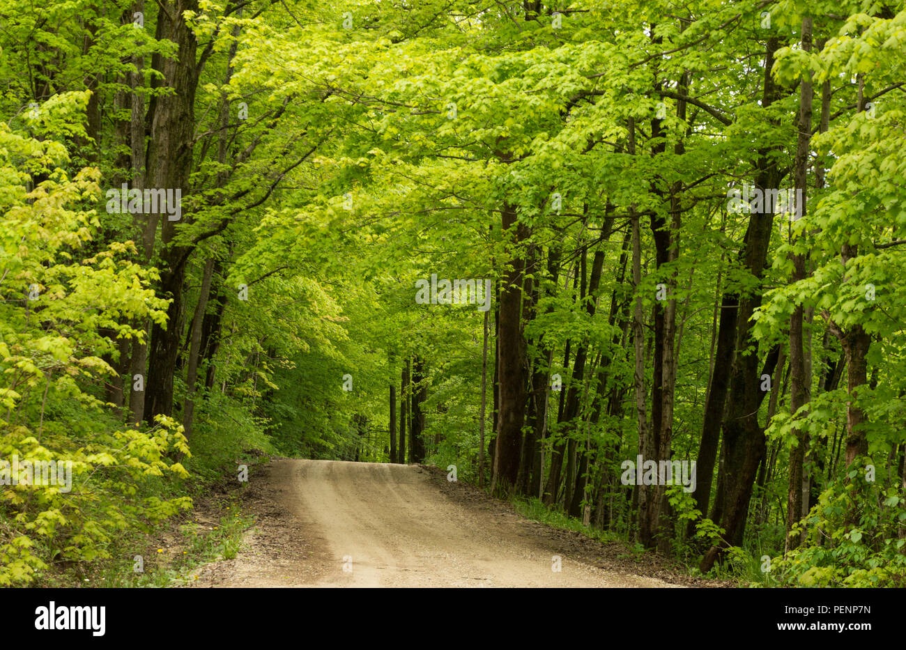 An inviting dirt road leading into a green fresh spring maple woodland - Stock Image