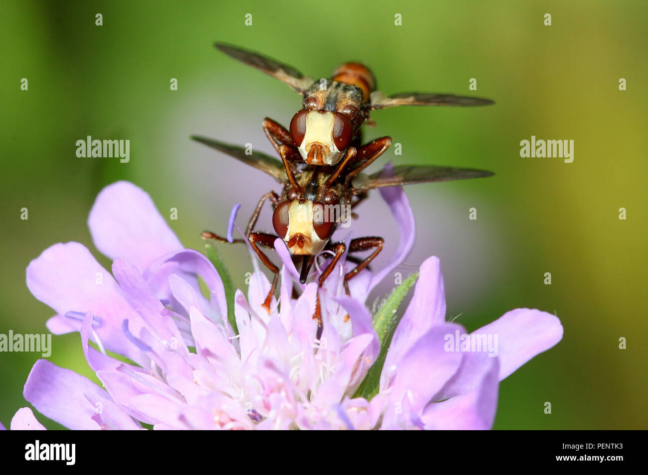 Mating European Common thick-headed Fly (Sicus ferrugineus - Conopidae)  on a pink mist flower Stock Photo