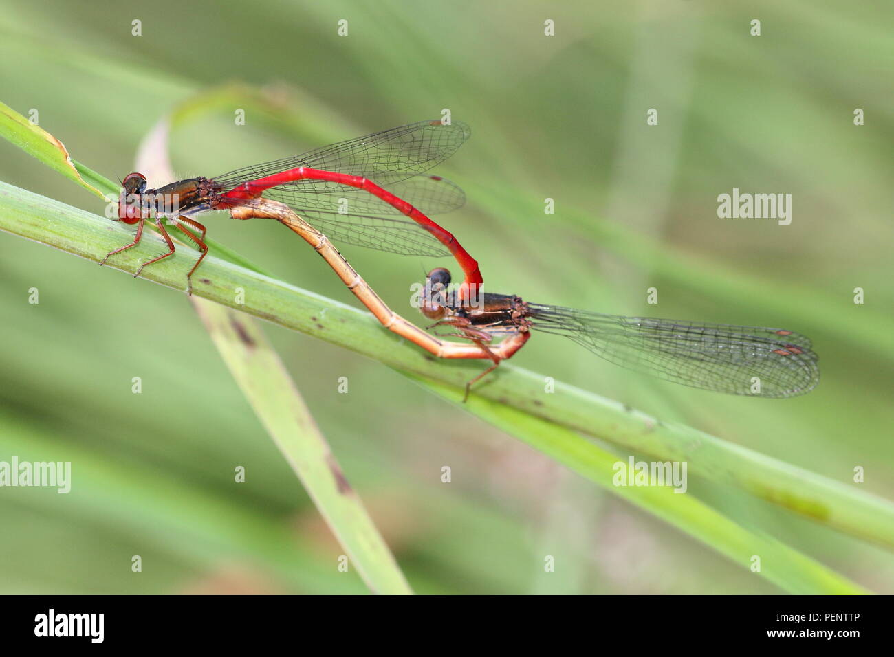 European Small Red Damselfly (Ceriagrion tenellum) Stock Photo