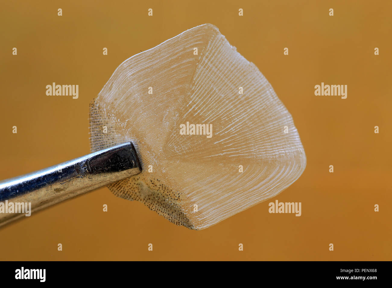 A fish scale used to determine the fish's age by reading the growth rings - Stock Image
