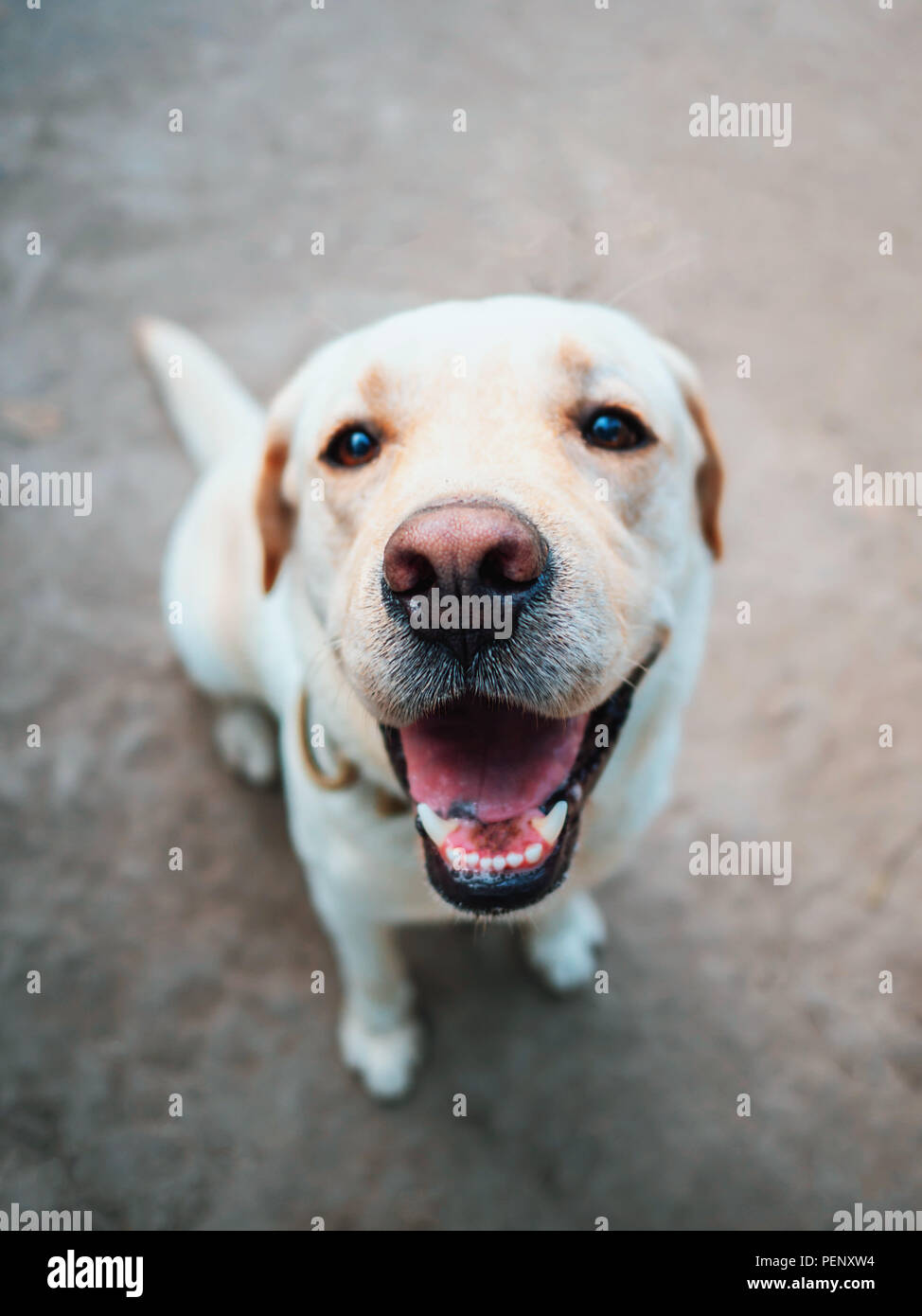 Beautiful adult golden labrador dog. Doggy smiling. He's feeling hot at summer. - Stock Image