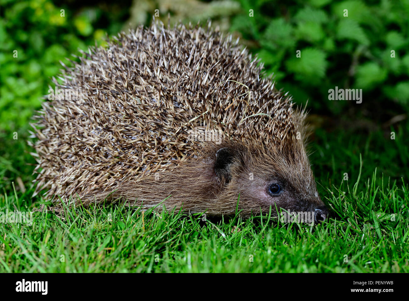 adult hedgehog foraging on lawn - Stock Image