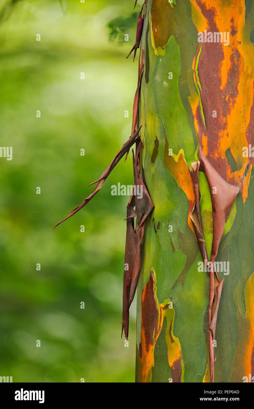 Rainbow Eucalyptus, Tiskita Rain Forest, Costa Rica - Stock Image