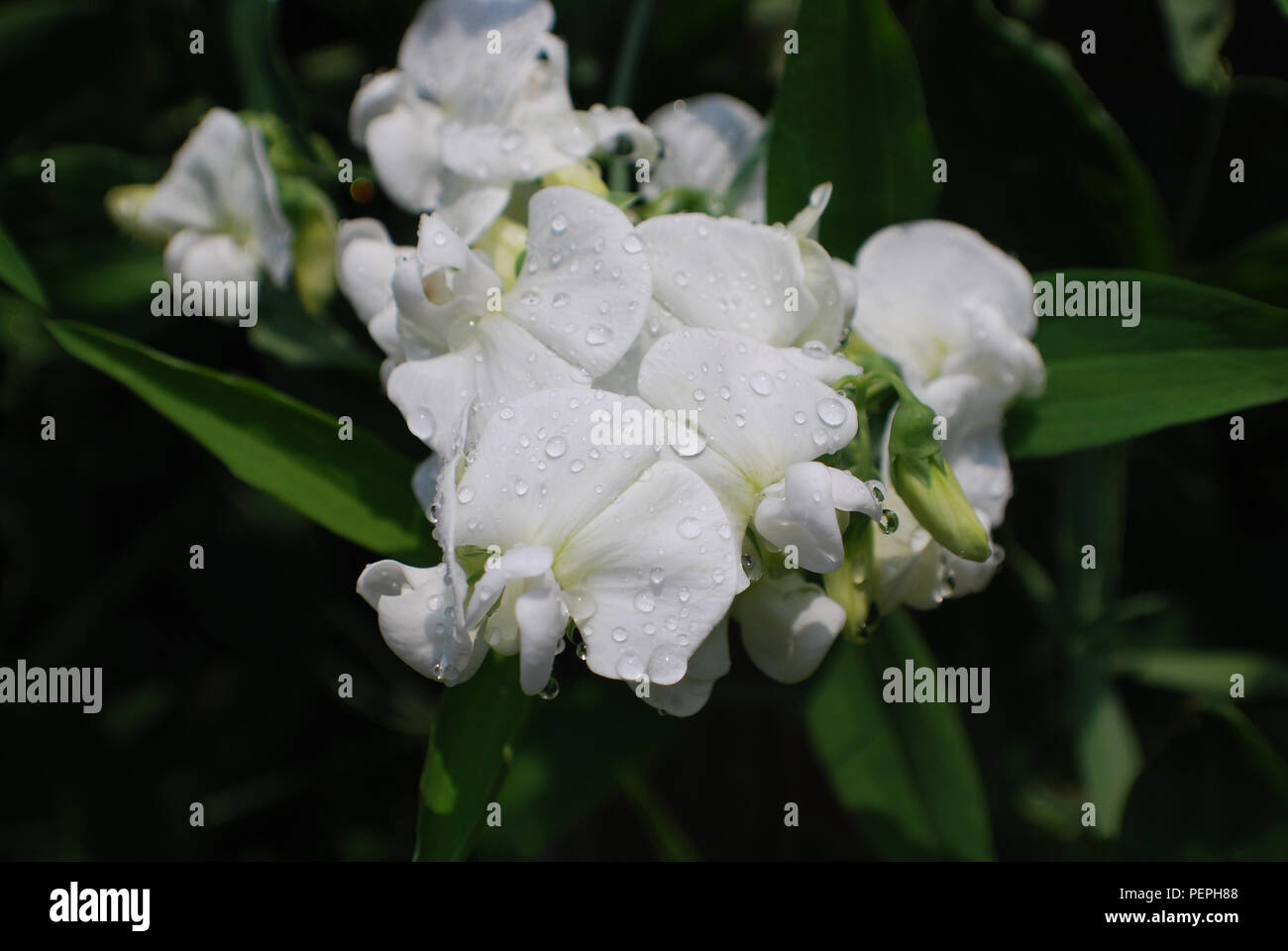 Flowering White Sweet Pea Flowers With Dew Drops On It Stock Photo