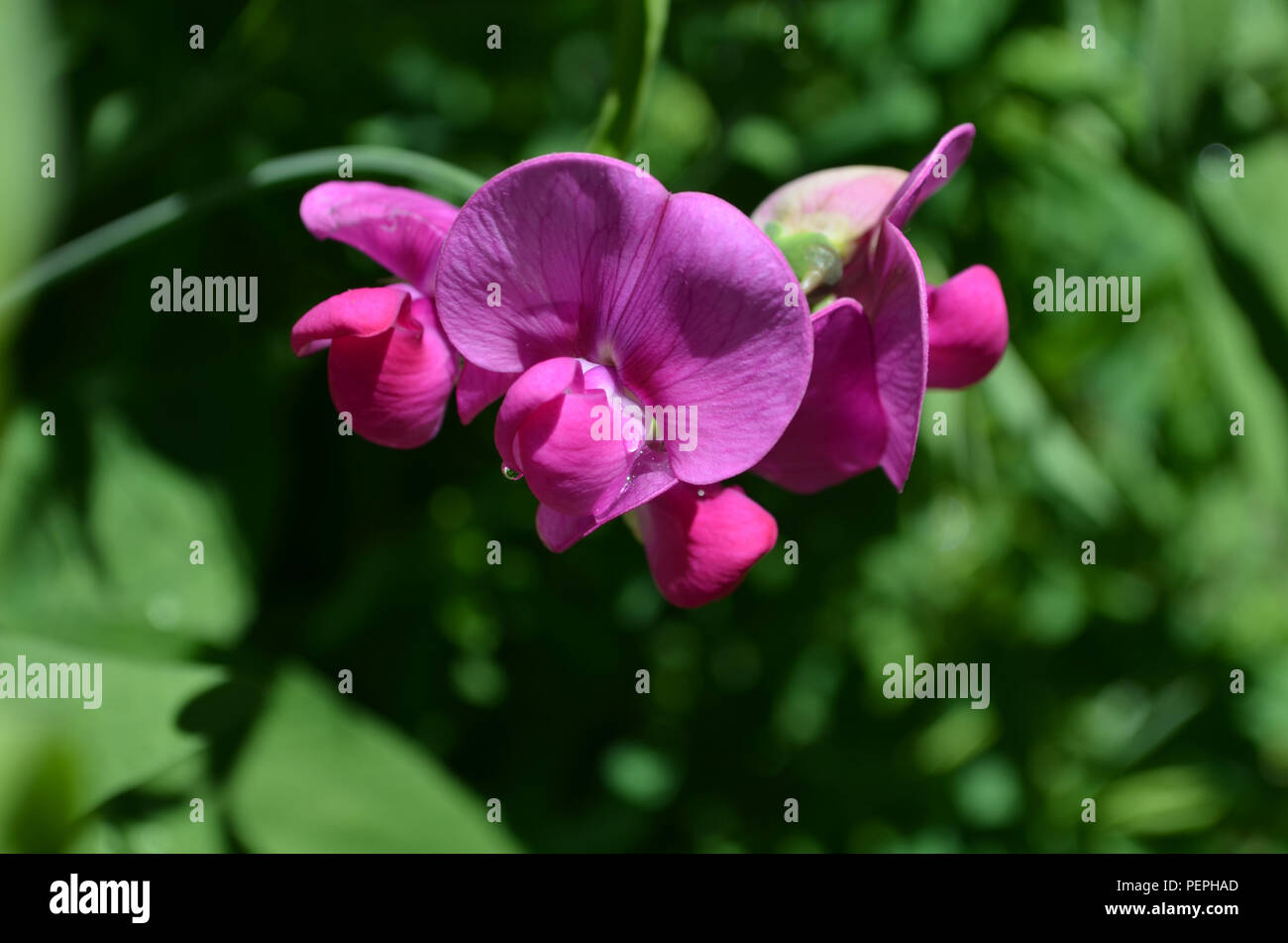 Very Pretty Blooming Hot Pink Sweet Pea Flowers In A Garden Stock