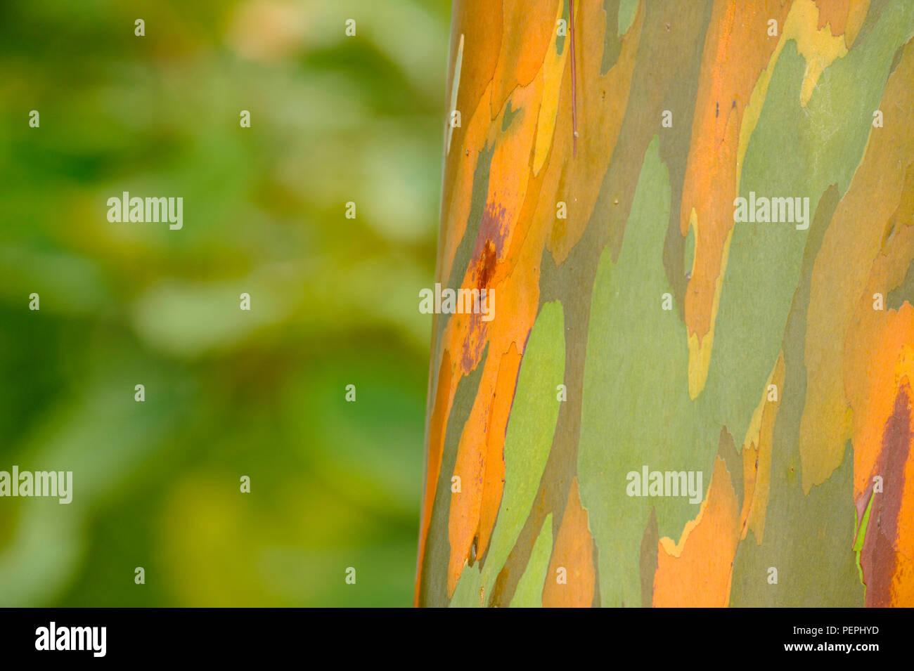 Rainbow Eucalyptus, Tisikita Rain Forest, Costa Rica - Stock Image