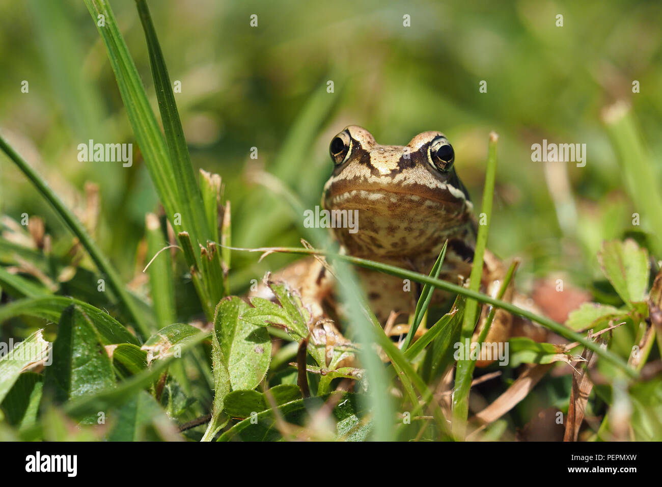 Young Common Frog (Rana temporaria) at rest in grass. Tipperary, Ireland - Stock Image