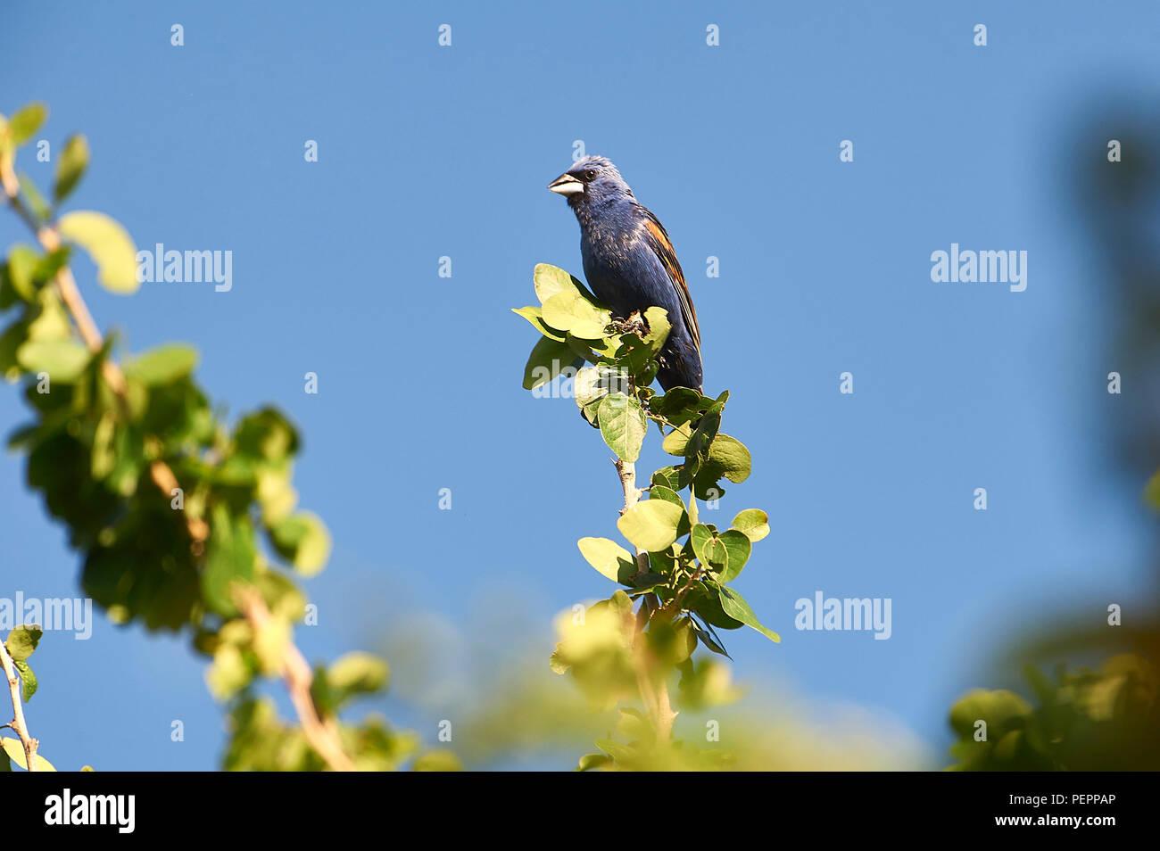 Blue Grosbeak (Passerina caerulea) perched in a tree, Alan Lloyd trail, Ajijic, Jalisco, Mexico - Stock Image