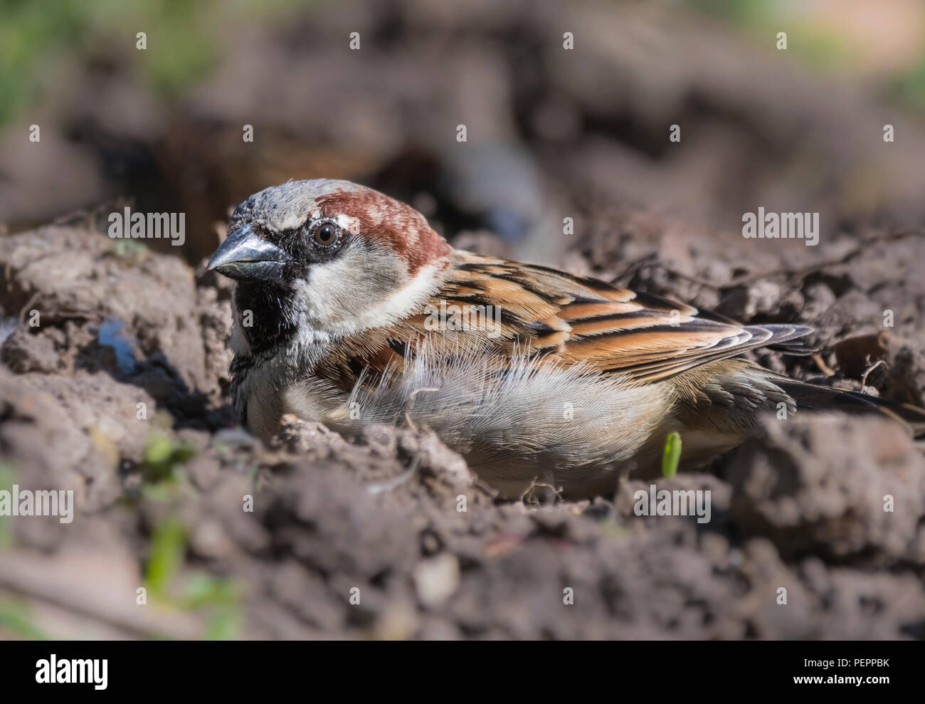 House Sparrow (Passer domesticus) sitting on the ground on earth in a garden in Spring in West Sussex, England, UK. - Stock Image