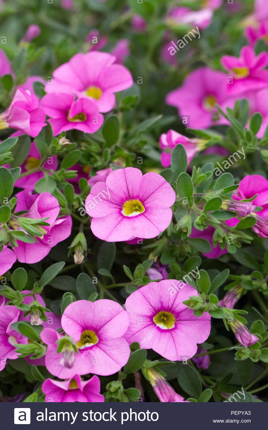 Calibrachoa Cabaret Light Pink flowers. - Stock Image