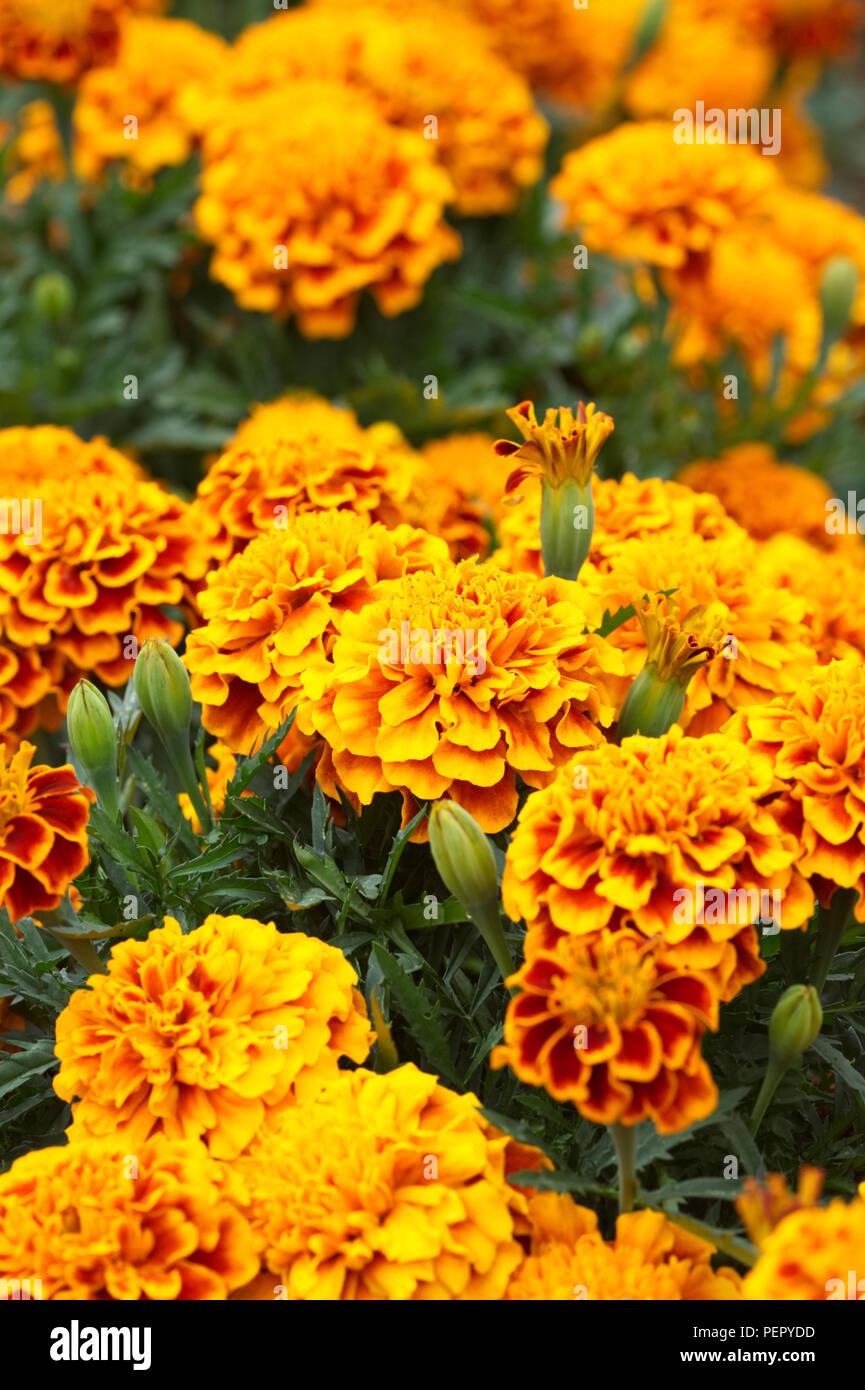 Tagetes patula. French Marigold 'Bonanza Flame' flowers. Stock Photo