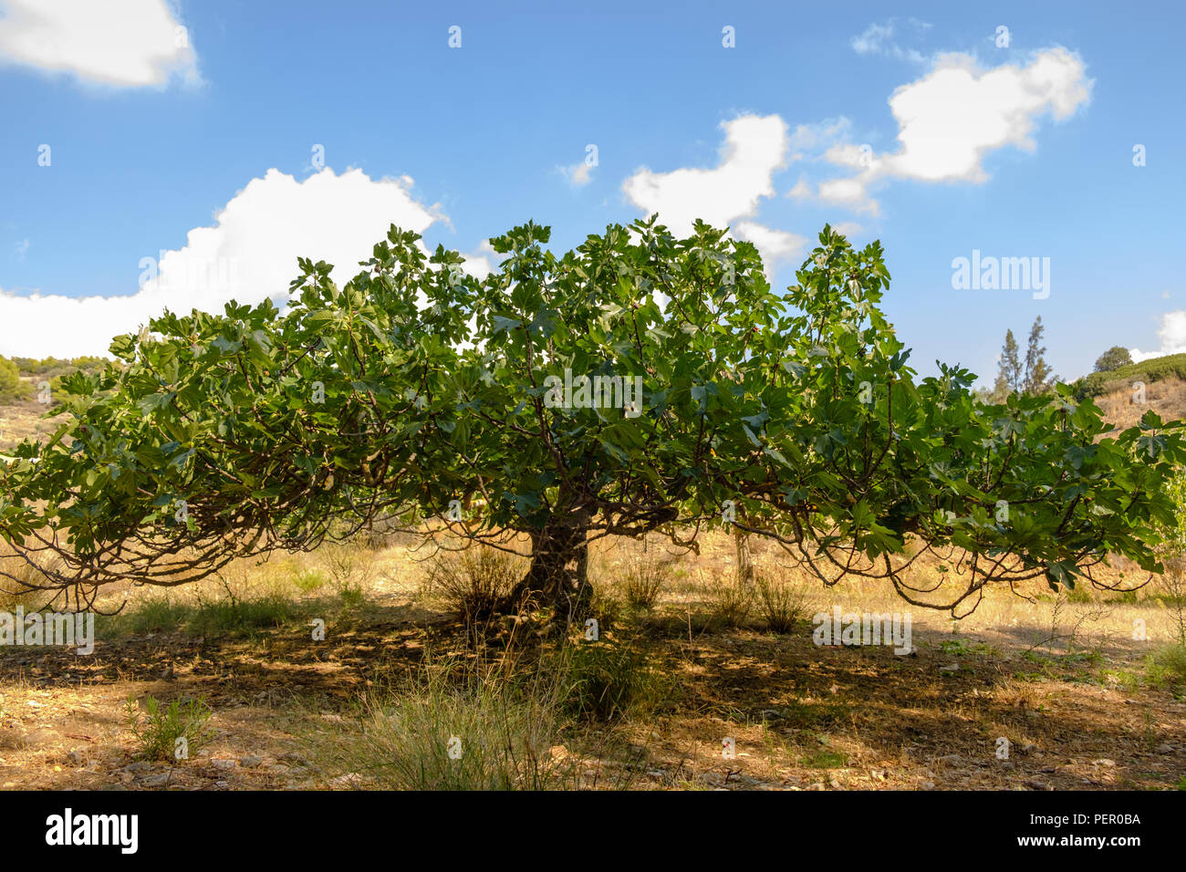 Common fig tree ( Ficus Carica ) of the Mulberry family, flourishing  in the July summer Greek heat, Saronida, Greece, Europe. Stock Photo