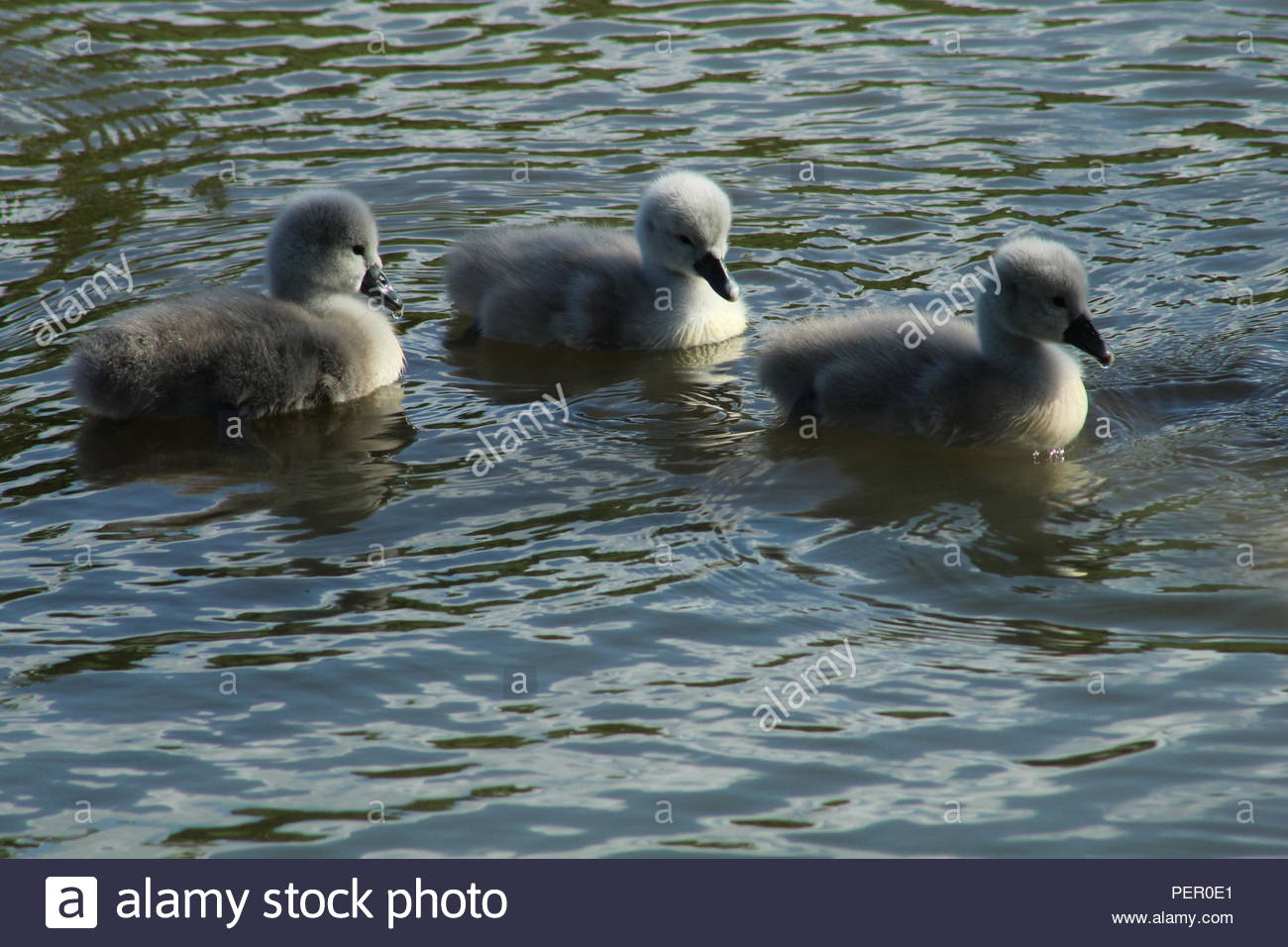 Cygnets on the old river in Irlam - Stock Image
