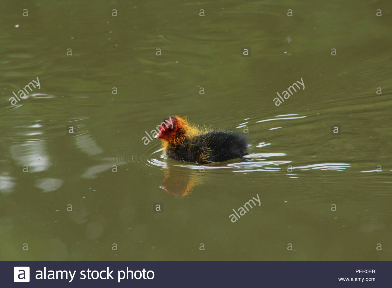 Baby Coot on the old river in Irlam - Stock Image