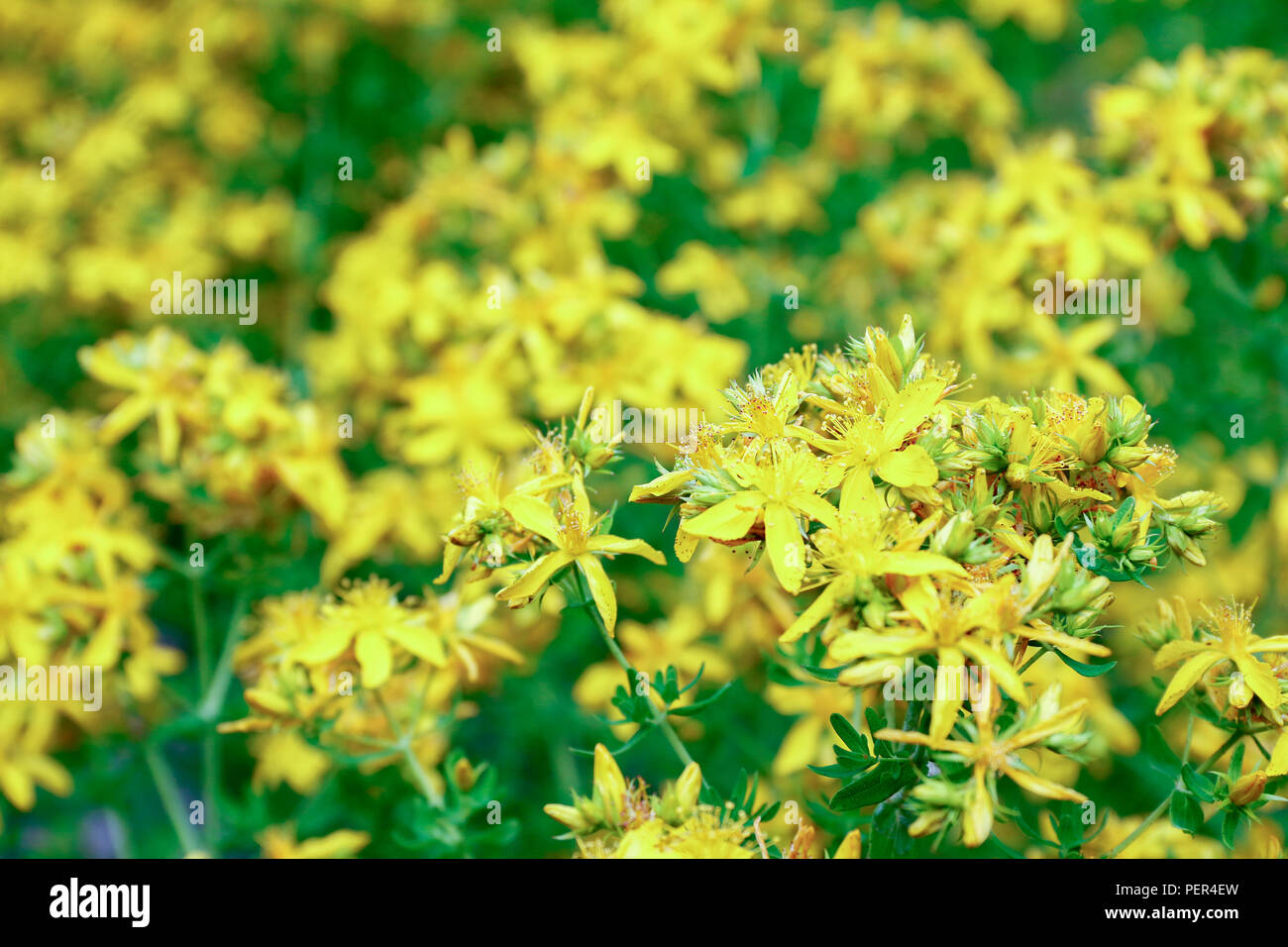 Yellow Flowers Of St Johns Wort A Medicinal Herb Used For The