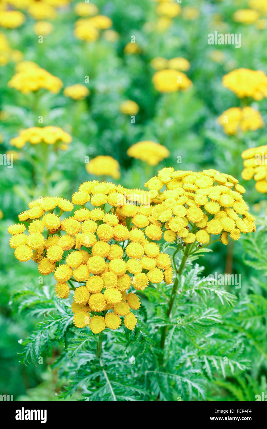 Yellow Flowers Of Tansy A Medicinal Herb Used For The Treatment Of