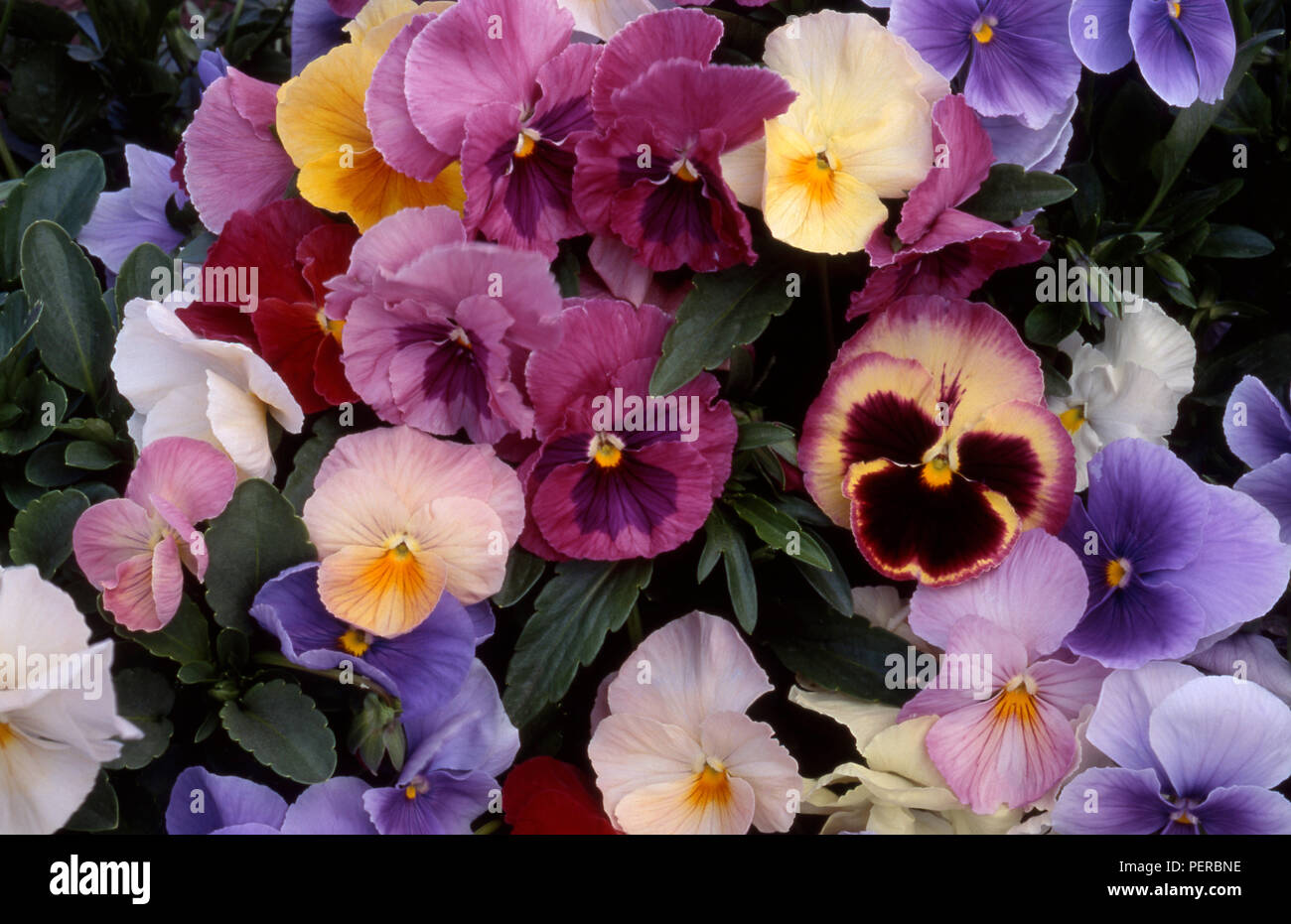 Colourful pansy flowers (Viola x wittrockiana) - Stock Image