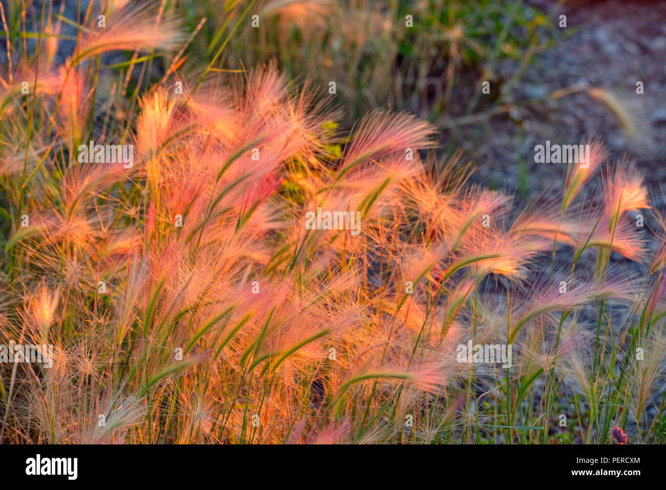 Foxtail barley in the setting sun light, Fort Providence, Northwest Territories, Canada - Stock Image