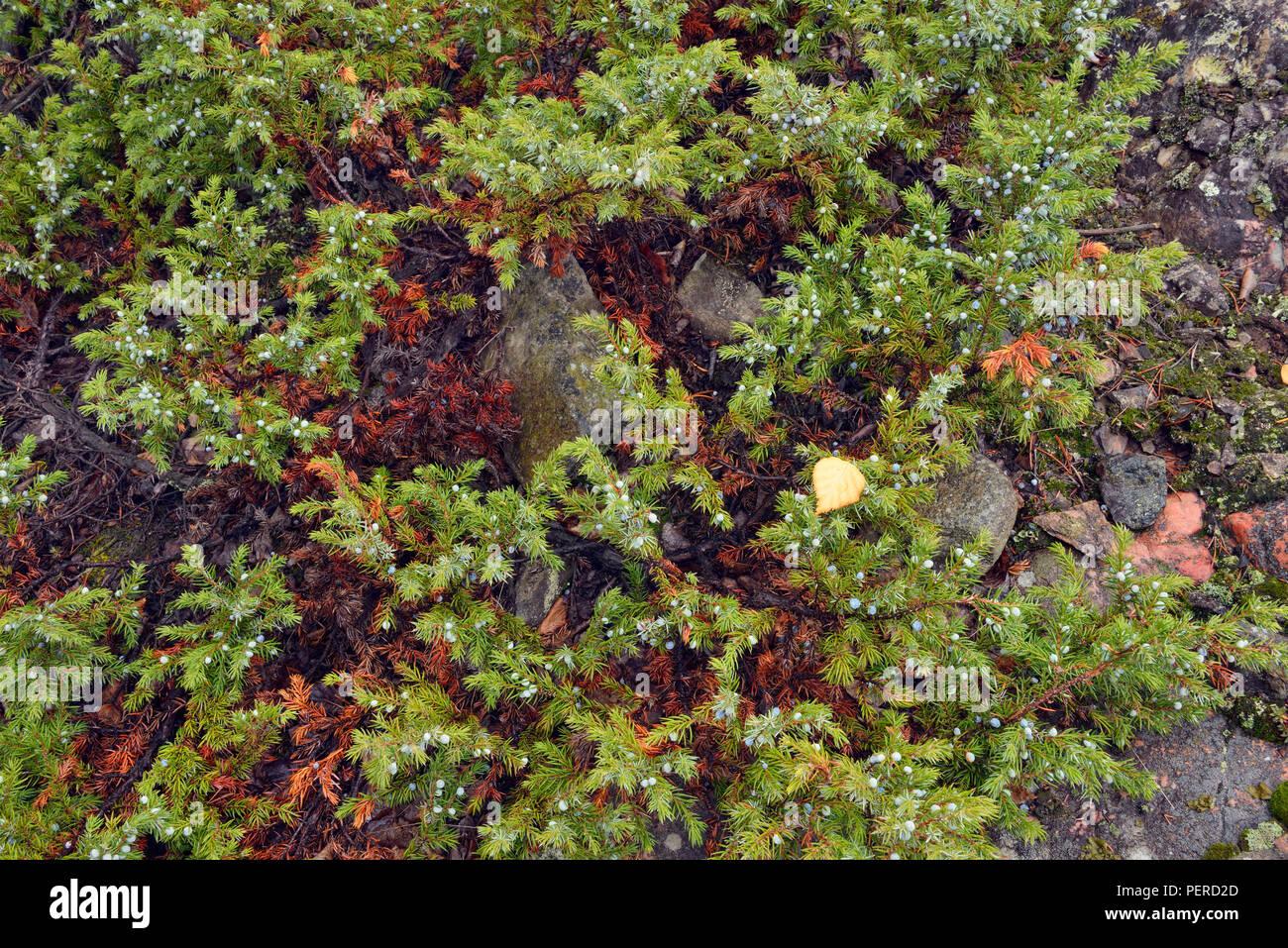 Juniper bush and berries, Yellowknife, Northwest Territories, Canada - Stock Image