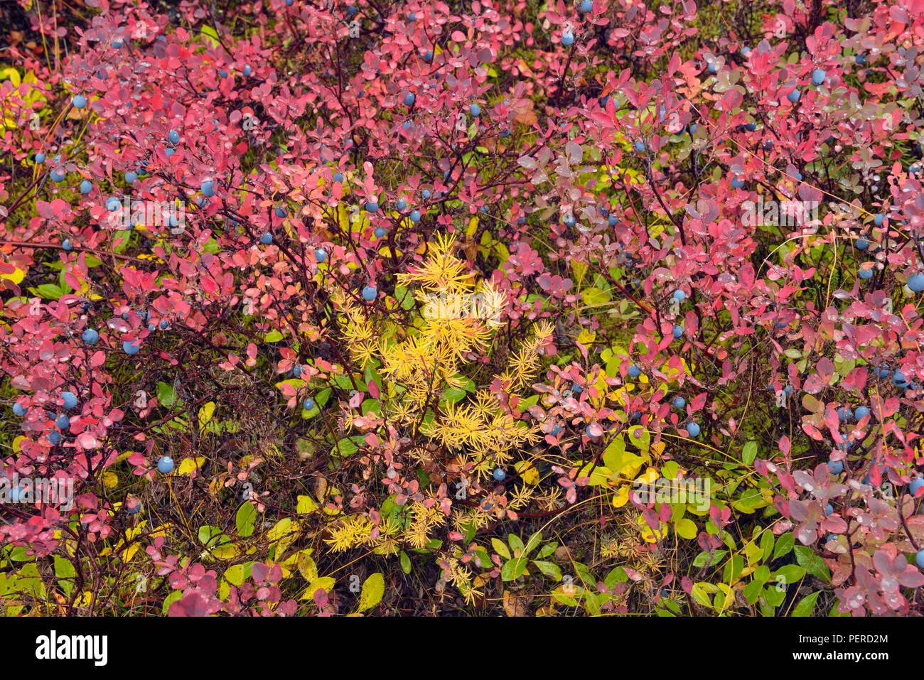 Barrenground vegetation in autumn near Ennadai Lake- larch, blueberry, Arctic Haven Lodge, Ennadai Lake, Nunavut Territory, Canada - Stock Image