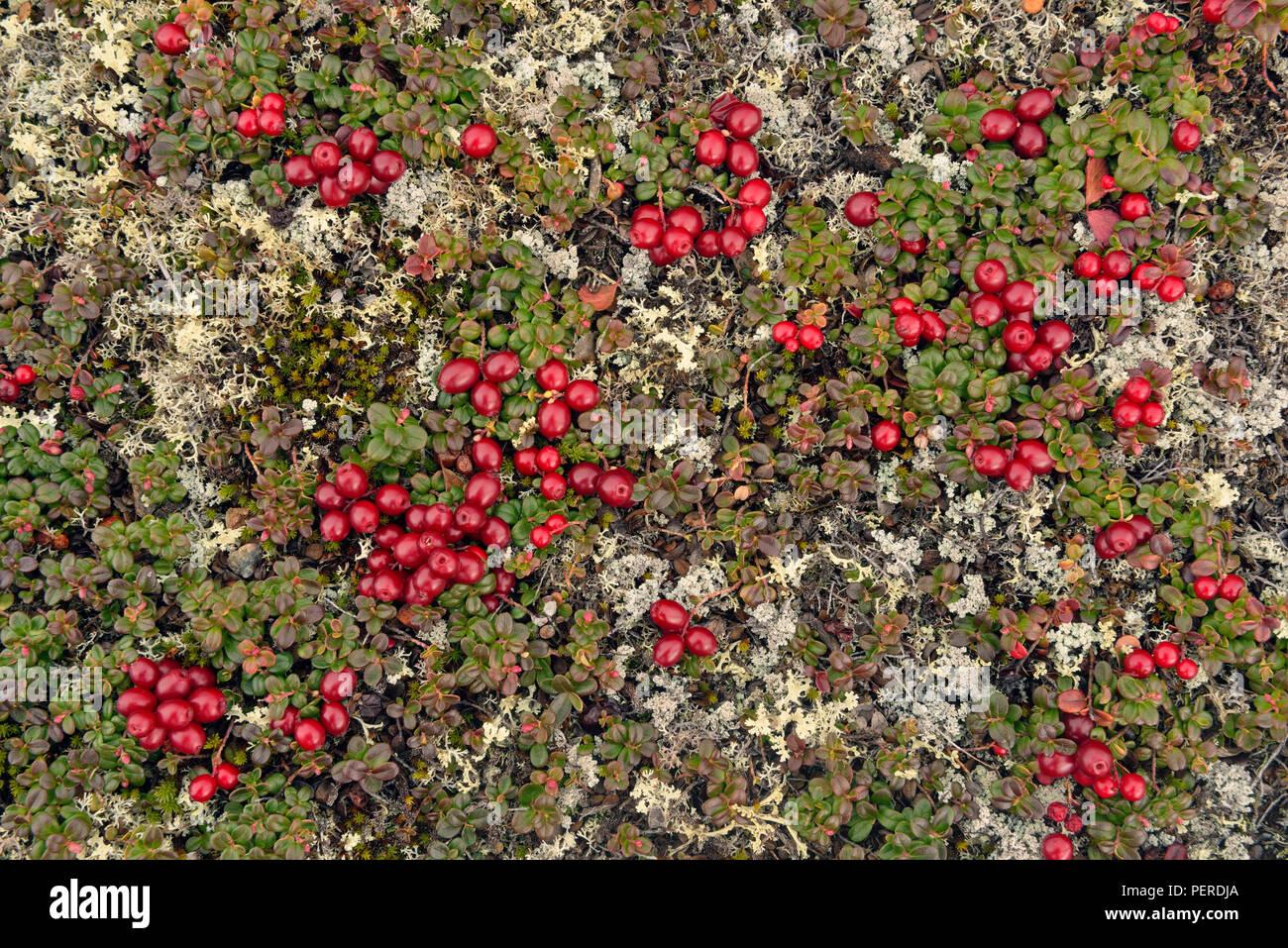 Lowbush cranberry, lingonberry (Vaccinium oxycoccos) (Vaccinium vitis-idaea), Arctic Haven Lodge, Ennadai Lake, Nunavut Territory, Canada - Stock Image