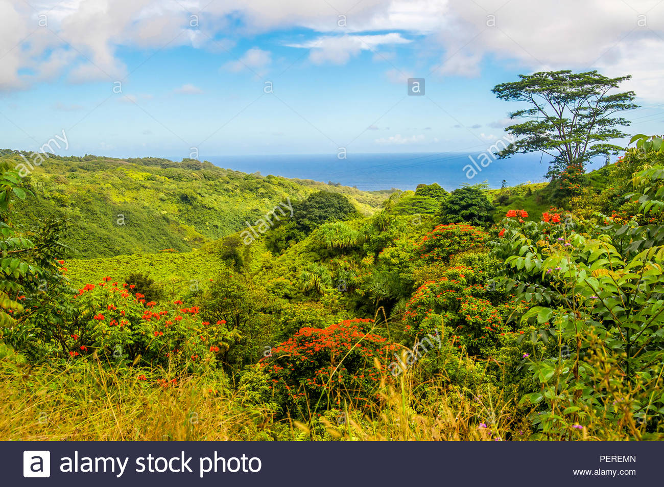 A Tropical Rainforest With Its Beautiful African Parrot Flowers Springs Up Along the Road to Hana on the Island of Maui in Hawaii - Stock Image