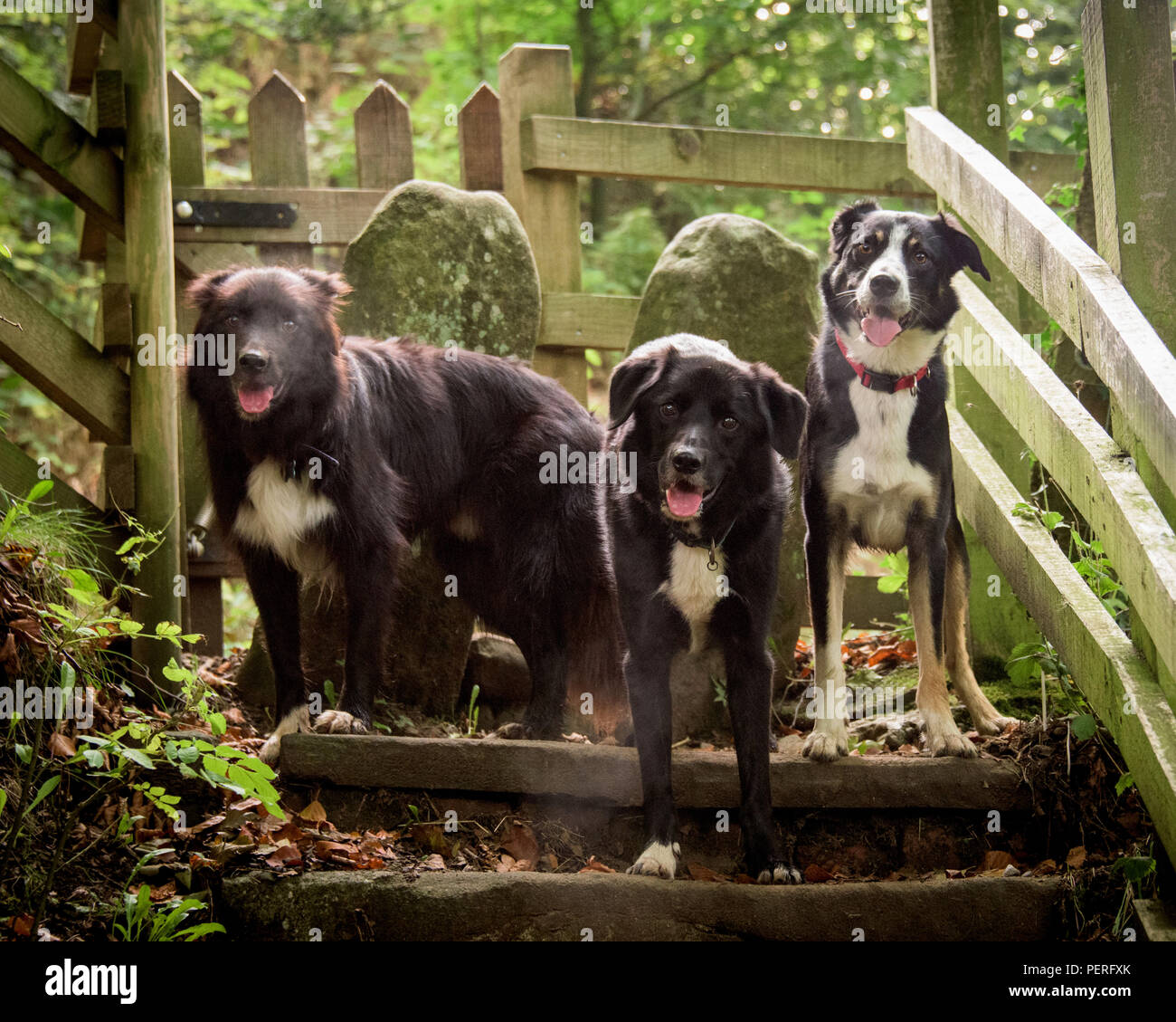 Group of three mixed Collie dogs taken during a walk - Stock Image