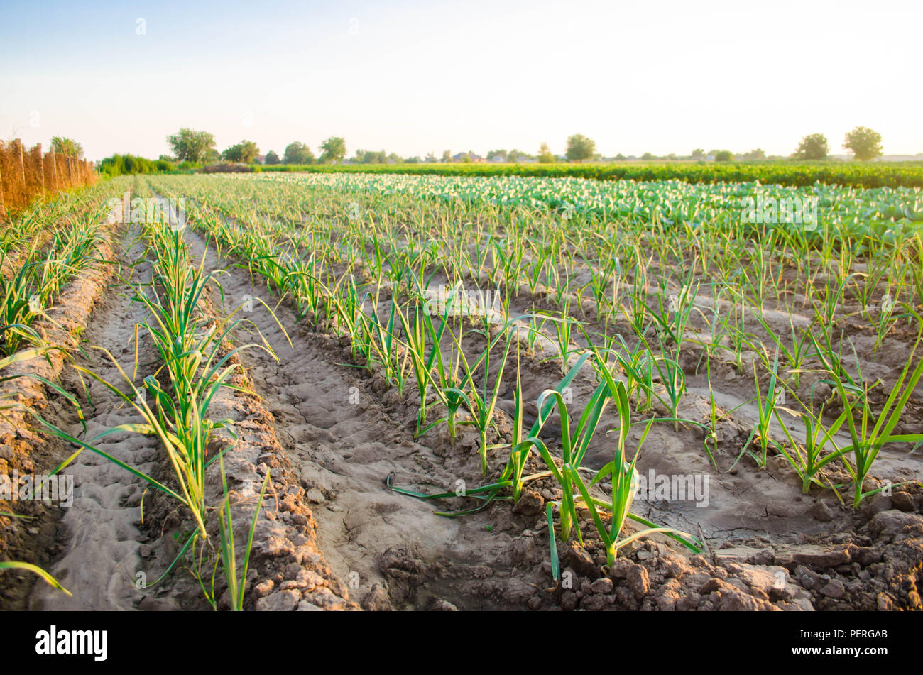 leek growing in the field  Agriculture, vegetables, organic