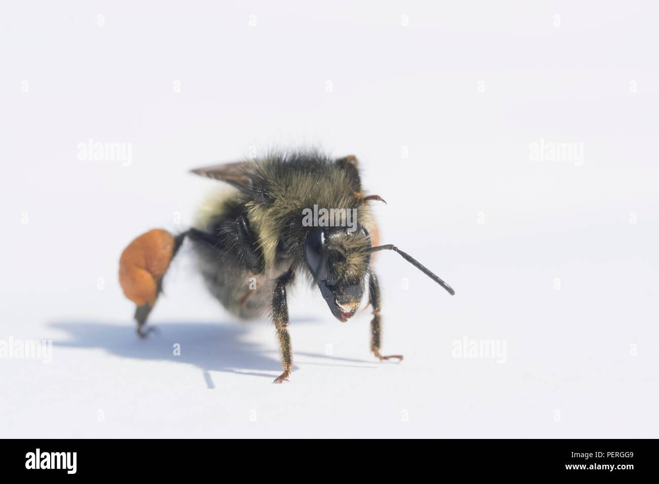 Yellow-head Bumblebee (Bombus flavifrons) Female carrying pollen, Cascade Mountains, Washington - Stock Image
