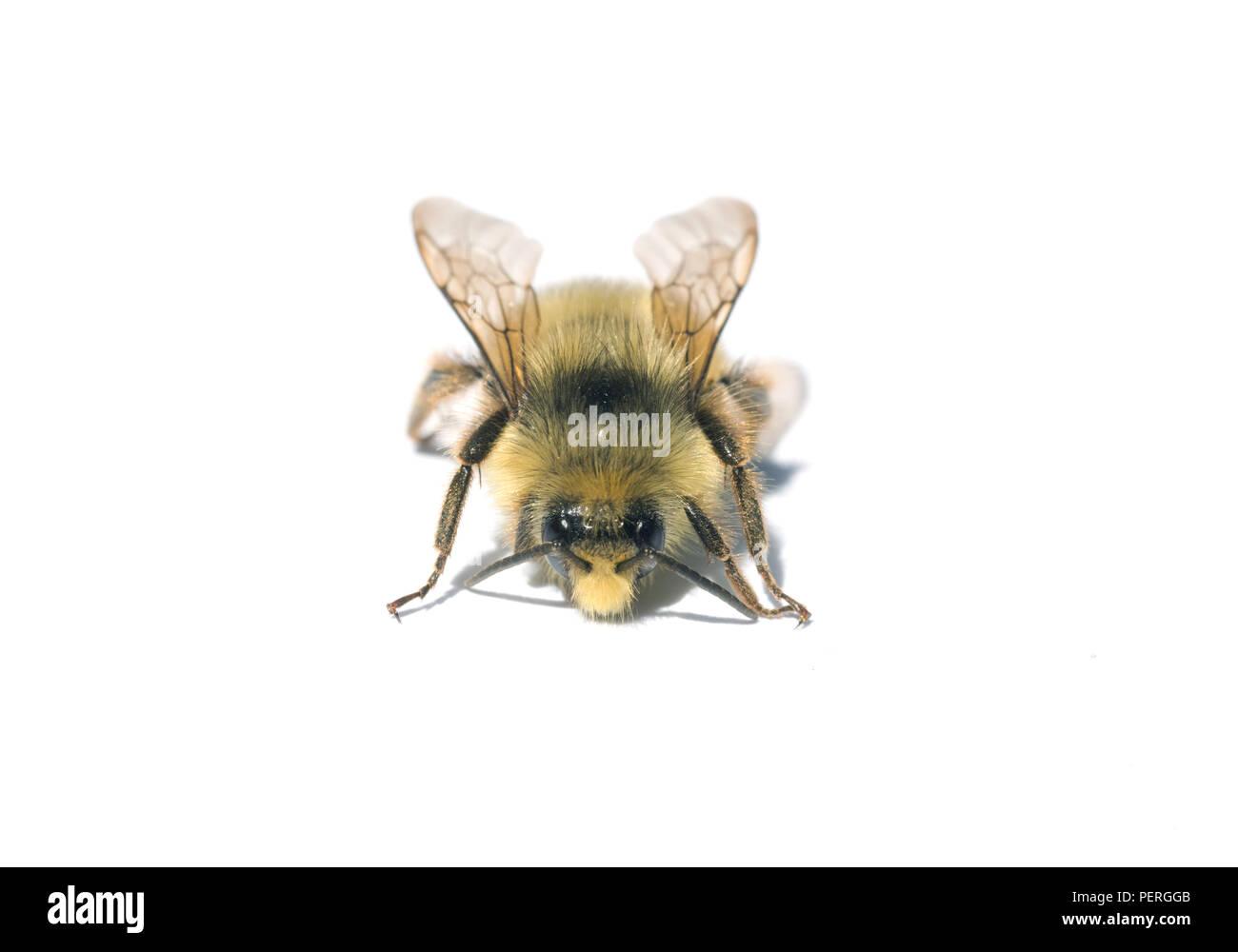 Fuzzy-horned Bumblebee (Bombus mixtus), Close-up, Cascade Mountains, Washington - Stock Image