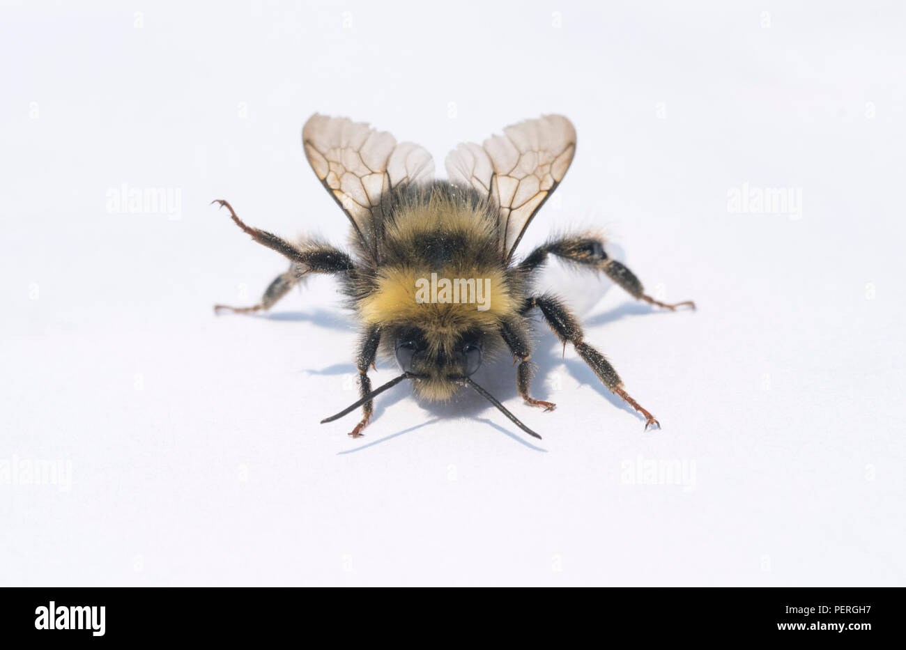 Western Bumblebee (Bombus occidentalis) Eye-level portrait of endangered insect - Stock Image