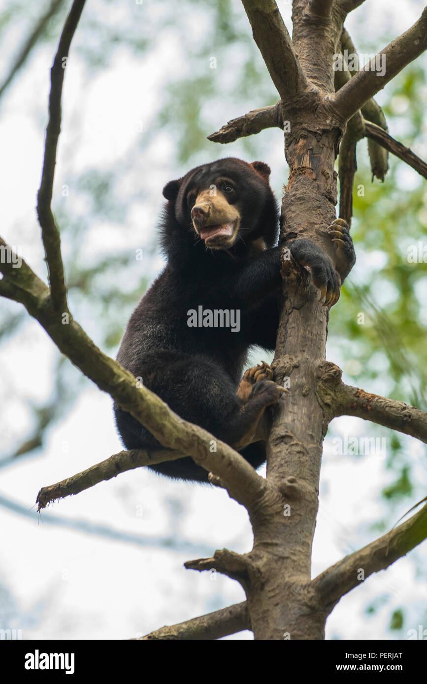A Bornean sun bear (Helarctos malayanus) at the top of a tree, looking downwards. Bornean Sun Bear Conservation Centre, Sepilok, Sabah, Malaysia. - Stock Image