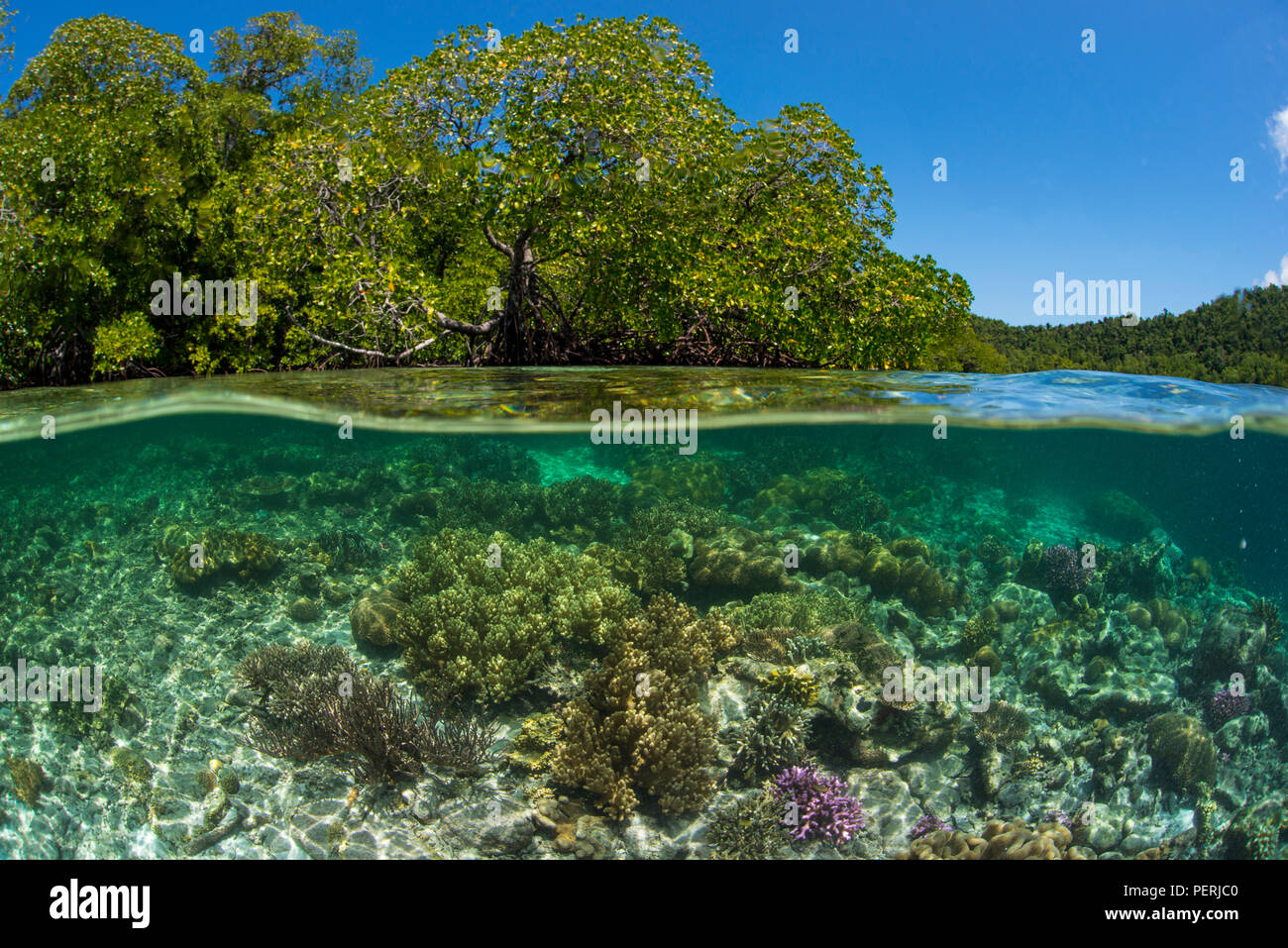 A split-level underwater photo of coral reef in clear blue water, with mangrove trees and blue sky above water, at Yangefo, Waigeo, Raja Ampat Marine Stock Photo