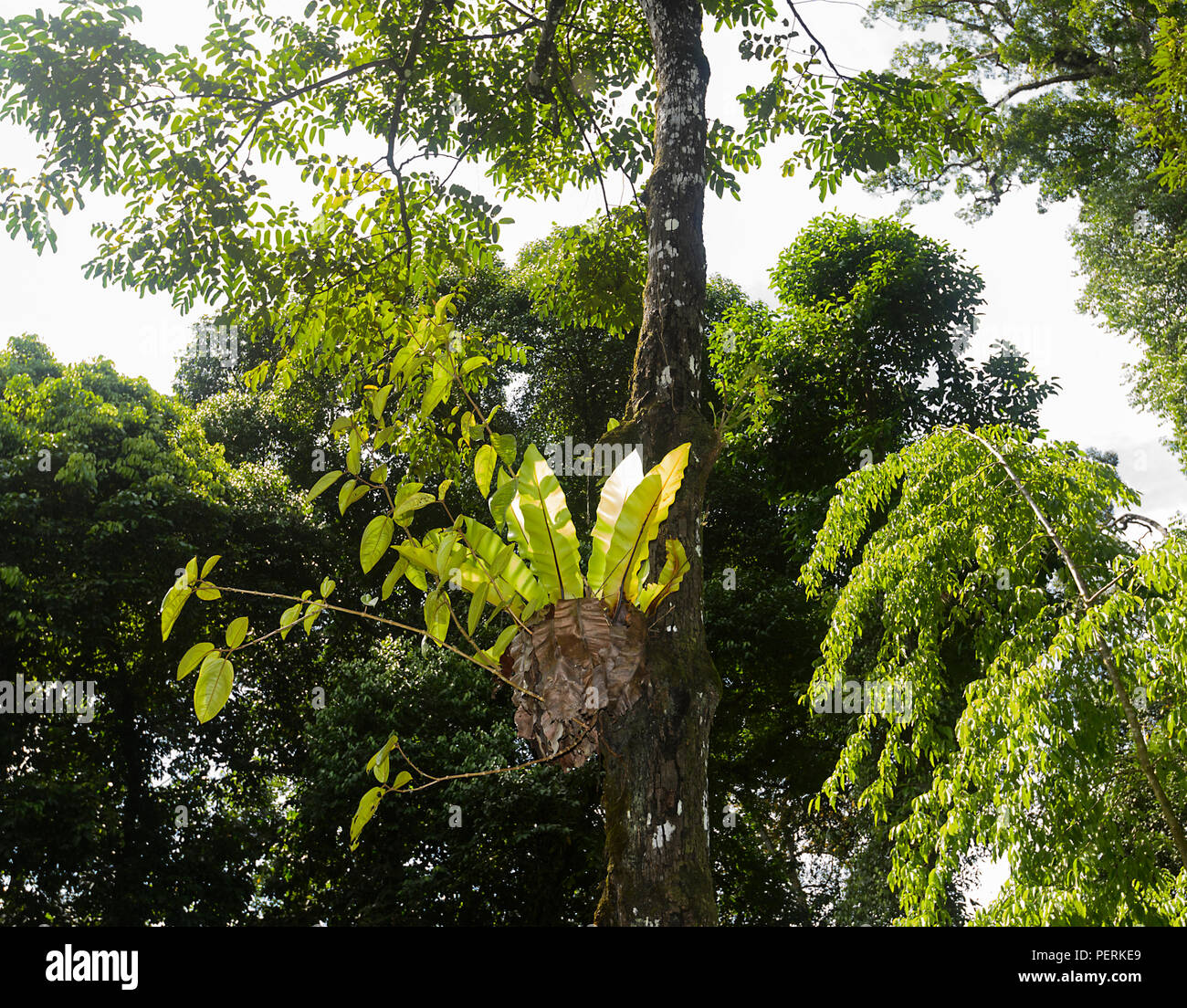 Epiphytes growing along a tree trunk in primary rainforest, Danum Valley Conservation Area, Sabah, Borneo, Malaysia - Stock Image