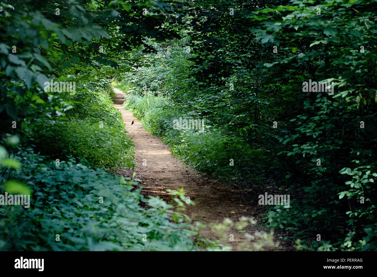 The common blackbird is a species of true thrush. It is also called Eurasian blackbird, or simply blackbird walks on path in deciduous summer forest i - Stock Image