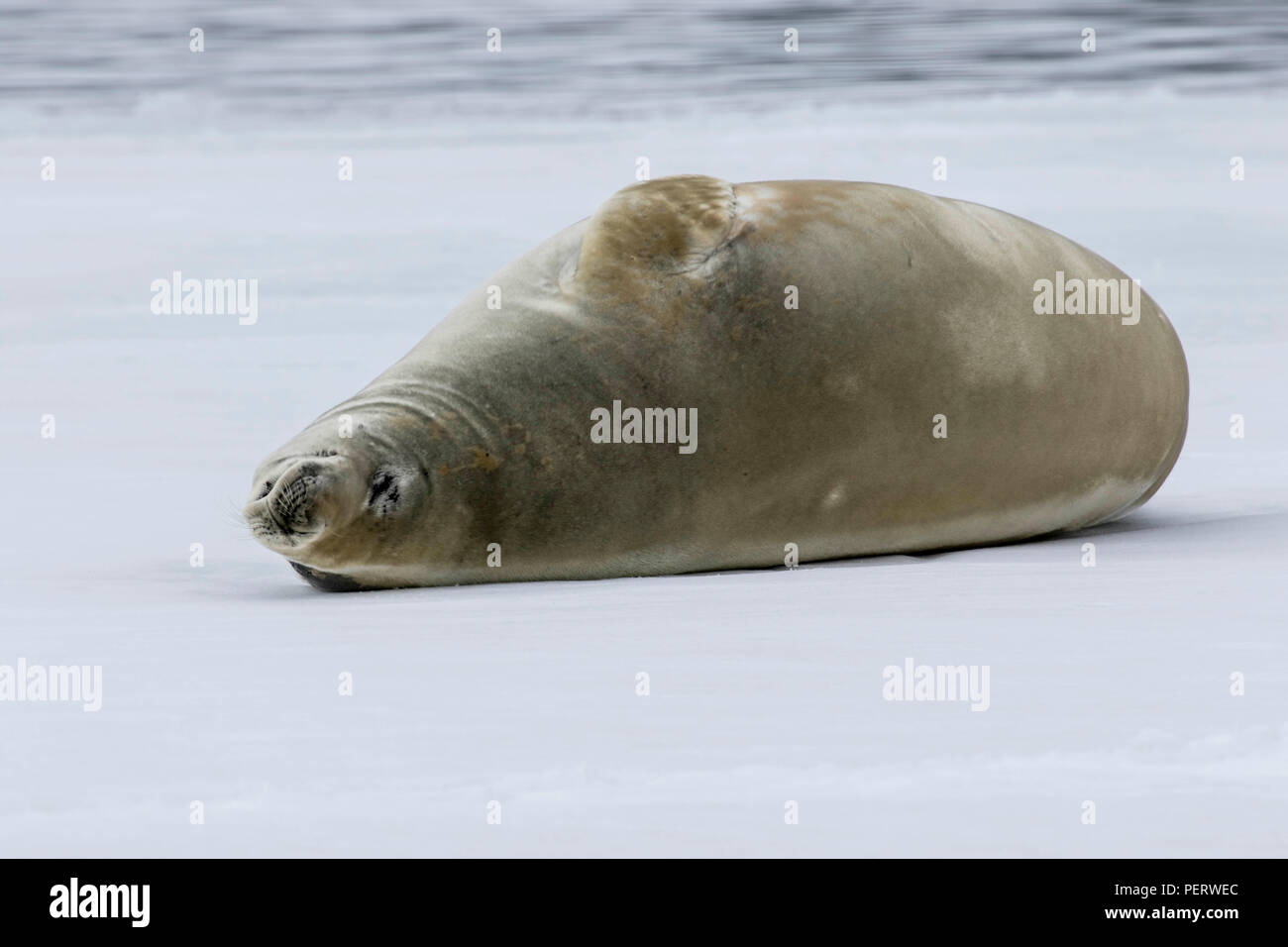 Crabeater seal in the snow in Antarctica - Stock Image
