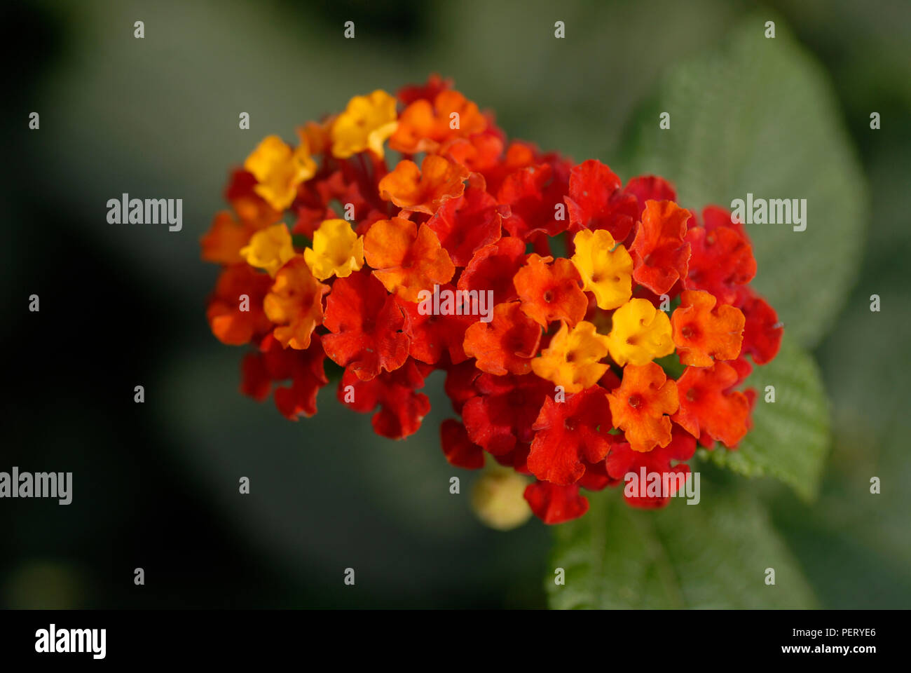 Two clusters of Lantana camara flowers with leaves in the background Stock Photo