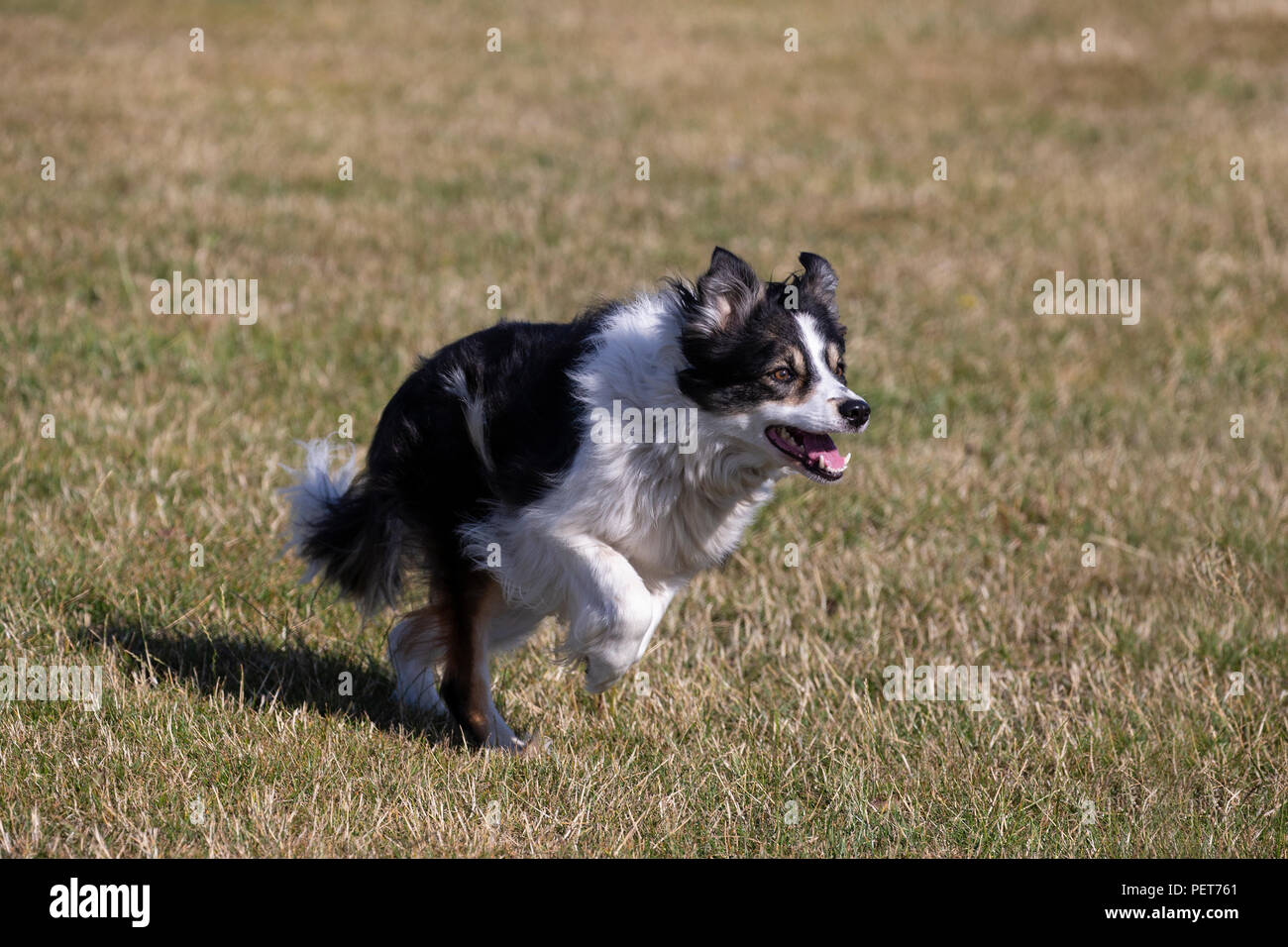 Border Collie dog Canis lupus familiaris in familiar outrun prior to rounding up sheep - Stock Image