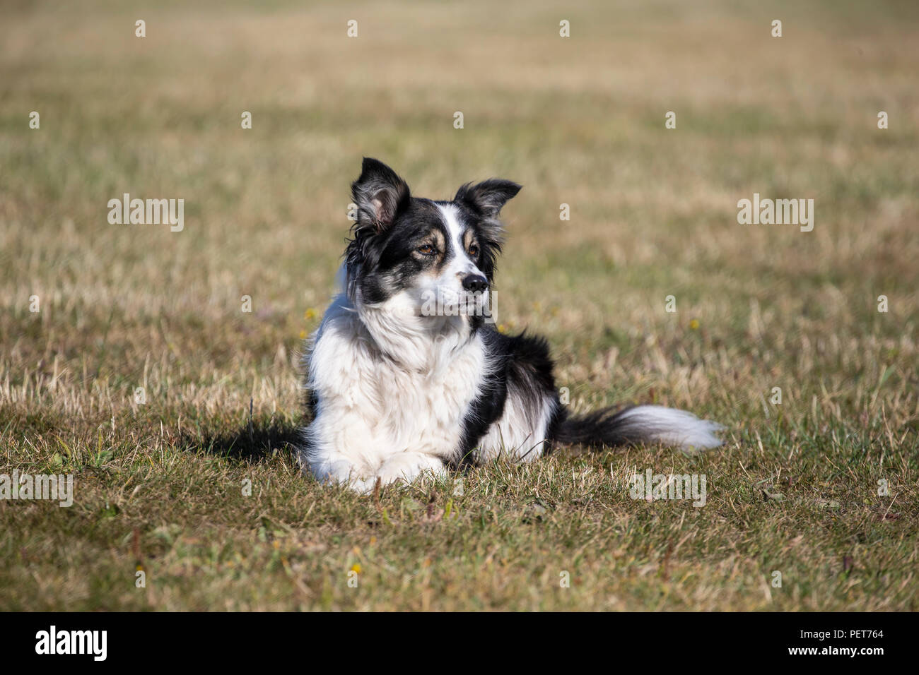 Border Collie dog Canis lupus familiaris lying down on grass but with alert gaze - Stock Image