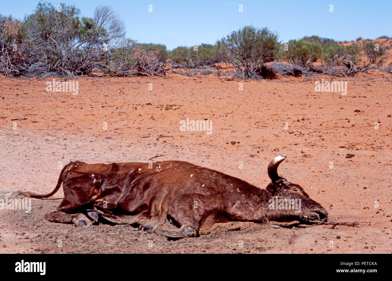 Remains of a dead cow whick has perished owing to the extreme drought conditions in the Northern Territory, Australia. Stock Photo