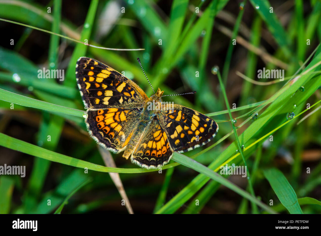 Field Crescent Butterfly (Phyciodes pulchella) resting in grass, Castle Rock Colorado US. - Stock Image
