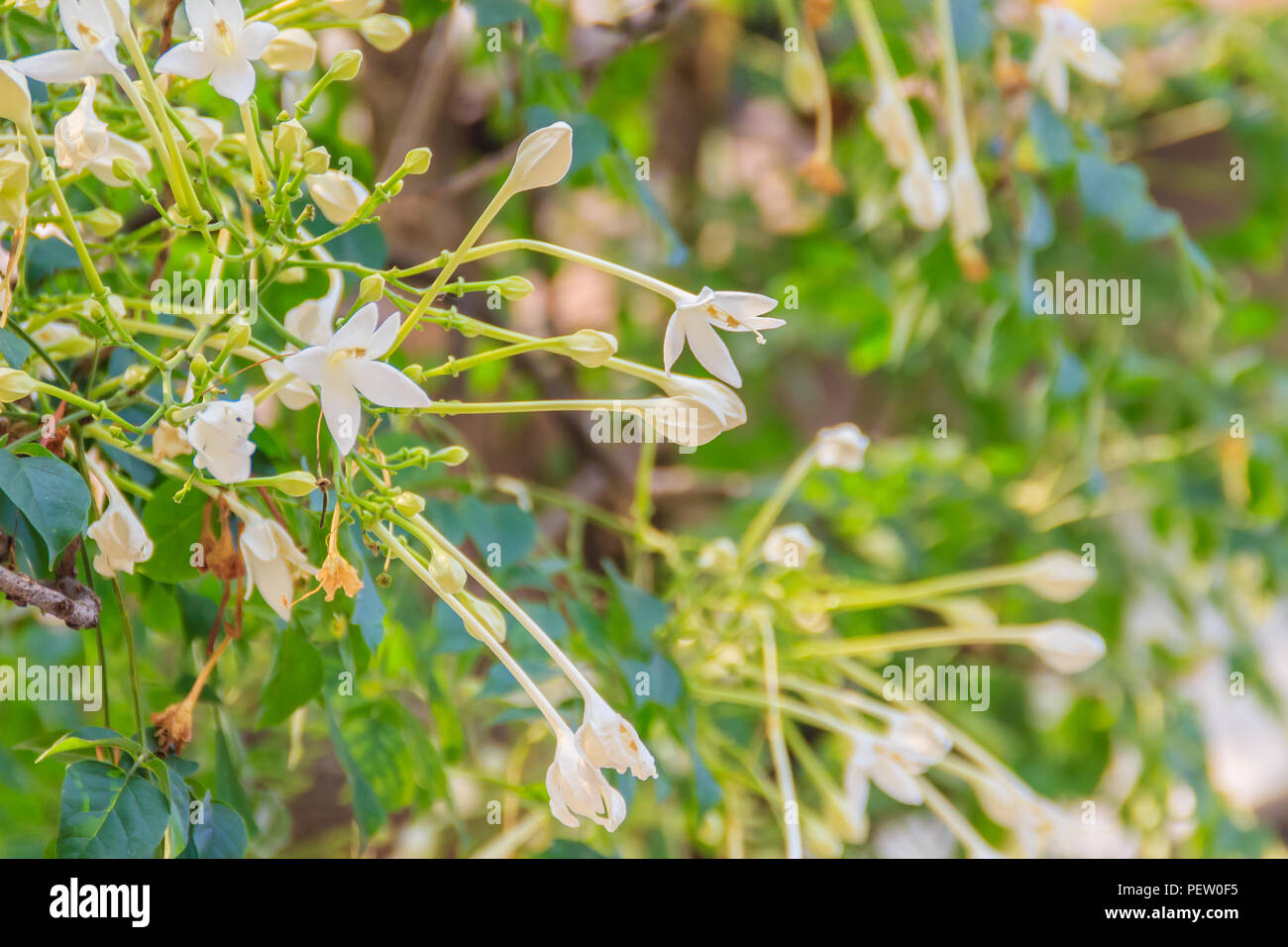 Beautiful Indian Cork Millingtonia Hortensis Linnf Flowers On The