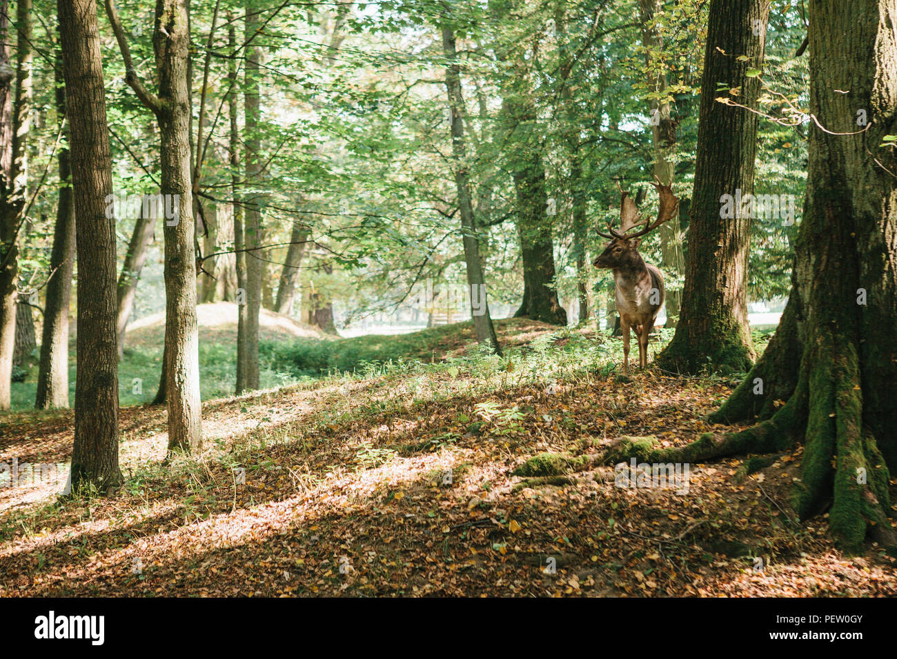 Beautiful deer with branched horns stands on a hill in an autumn forest among trees. Wild deer in the natural habitat. - Stock Image