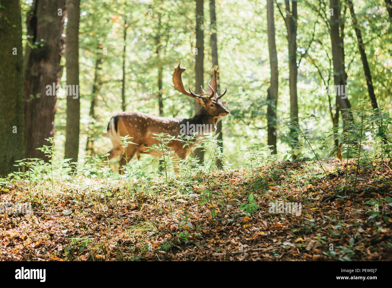 Beautiful deer with branched horns stands on a hill in an autumn forest among trees. Selective focus on grass, deer blurred in the background. - Stock Image