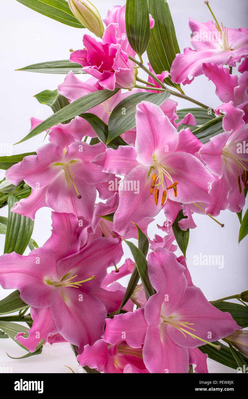 Soft Pastel Pink Lily Flowers Stock Photos Soft Pastel Pink Lily